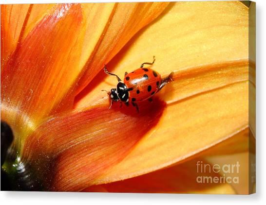 Ladybug On Orange Yellow Dahlia . 7d14686 Canvas Print by Wingsdomain Art and Photography
