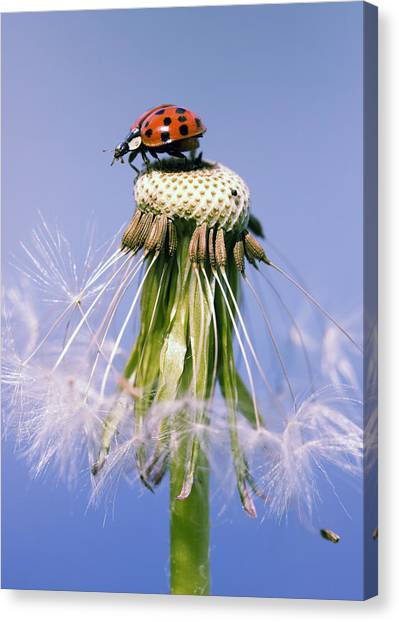 Ladybugs Dandelion Canvas Print by Falko Follert