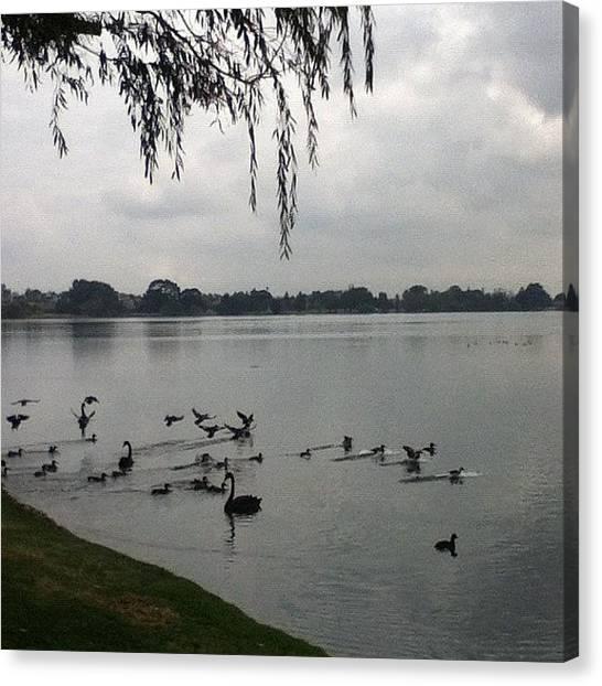 Swans Canvas Print - #lakemonger #lakes #westernaustralia by Kristie Brown