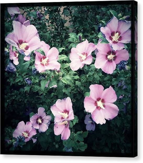 Tagstagram Canvas Print - Lavender Hibiscus Flowers #hipstamatic by Paul Cutright