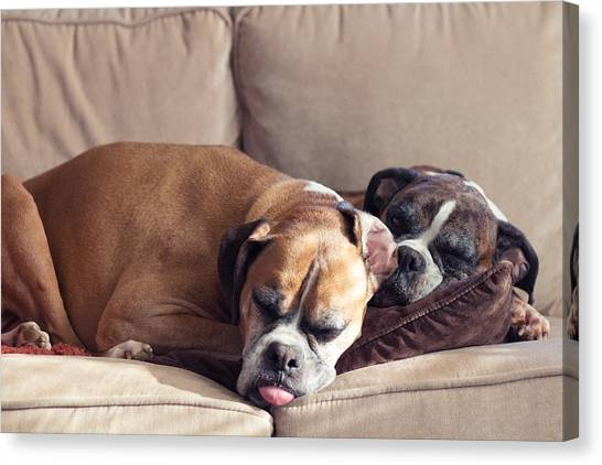 Brindle Canvas Print - Lazy Boxers by Stephanie McDowell