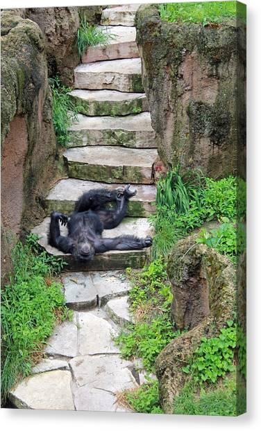 Lazy Chimp Canvas Print by Lori Johnson