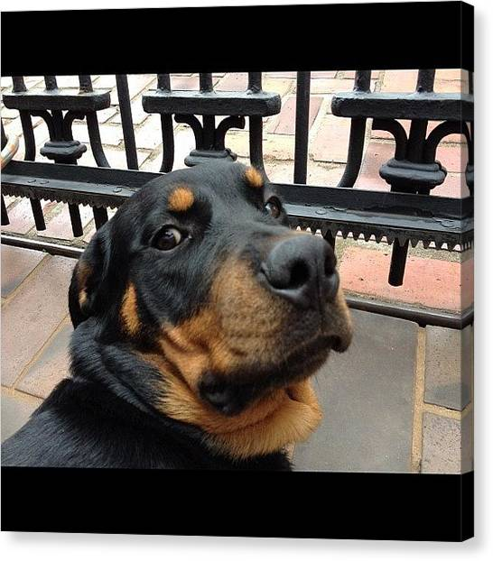 Rottweilers Canvas Print - Lazy Hera!! #cute #pets #pet #dogs #dog by Adriana Guimaraes