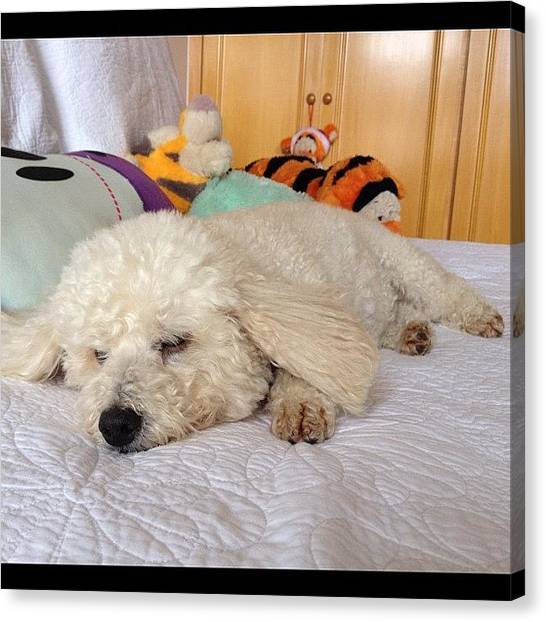 Poodles Canvas Print - Lazy Mel - 1!! Have A Great Monday by Adriana Guimaraes