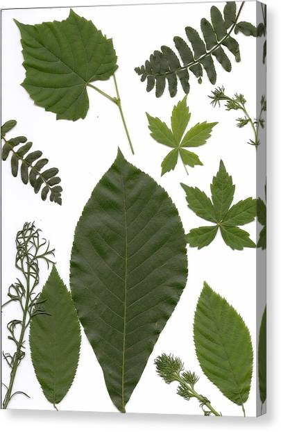 Leaf Collage II Canvas Print by Mary Ann Southern