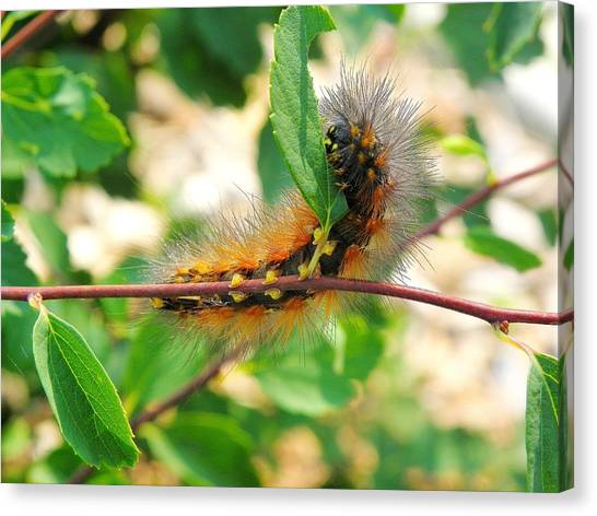 Leaf Eating Caterpillar Canvas Print