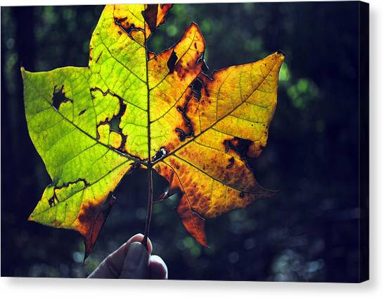 Leaf In Light Canvas Print