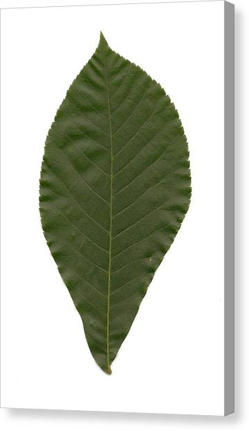 Leaf Of Mockernut Hickory Canvas Print by Mary Ann Southern