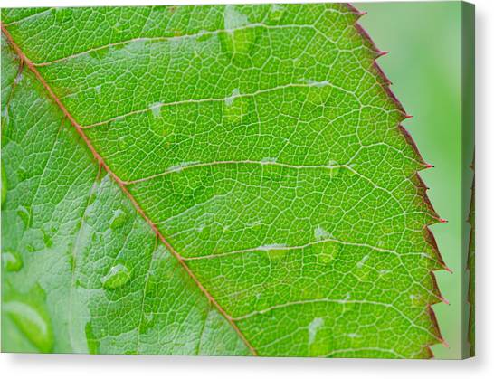 Leaf Of The Rose Canvas Print by Margaret Pitcher