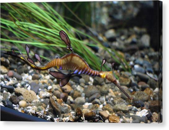 Leafy Dragon Seahorse - 0001 Canvas Print