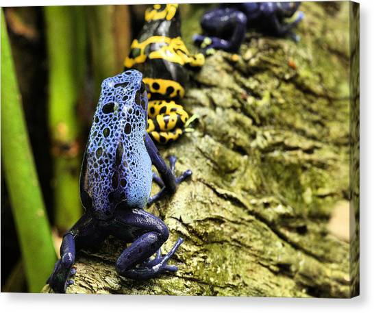 Leap Frog Canvas Print by JC Findley