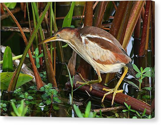 Least Bittern In The Open Canvas Print