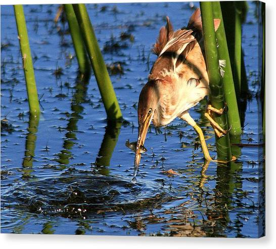 Least Bittern With A Molly Canvas Print