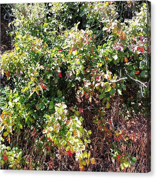 Offroading Canvas Print - Leaves Of 3, Let It Be! #poisonoak by Juan Guevara