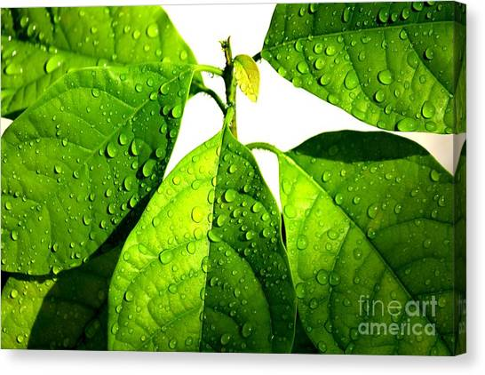 Leaves With Raindrops Canvas Print by Theresa Willingham
