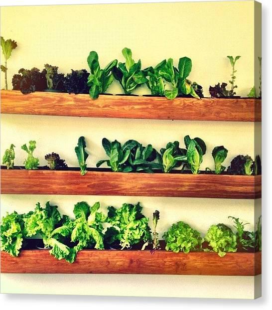 Lettuce Canvas Print - Lechugas by Mariana Garcia Sarquiz