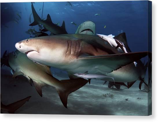 World Schooling Canvas Print - Lemon Shark Pack by Greg Amptman