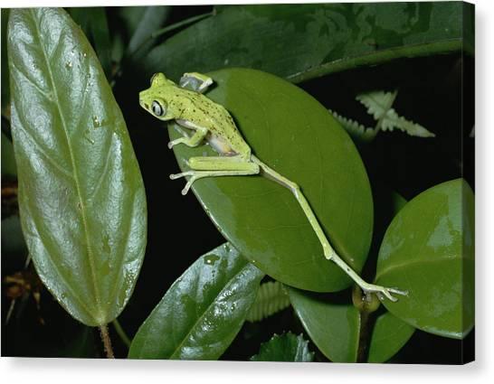 Monteverde Canvas Print - Lemur Frog Phyllomedusa Lemur Top View by Konrad Wothe