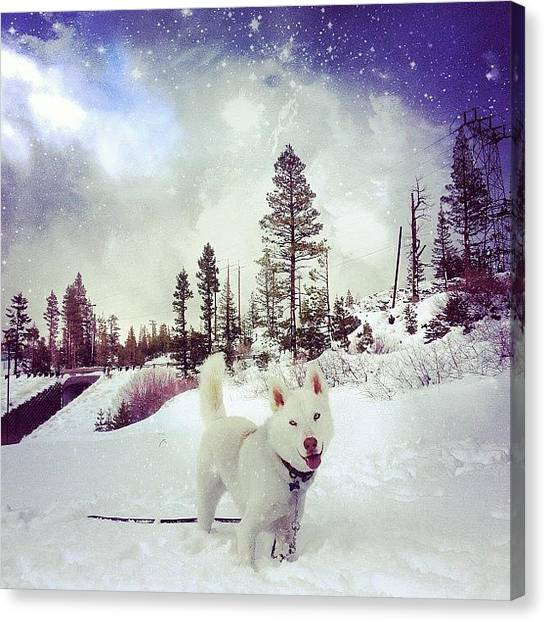 Wolves Canvas Print - Leo The Husky Approves The Amazing Wood by Lydia Campisi