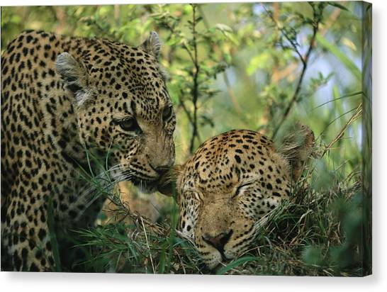 Republic Of South Africa Canvas Print - Leopards Nuzzle In The Heat Of The Day by Kim Wolhuter