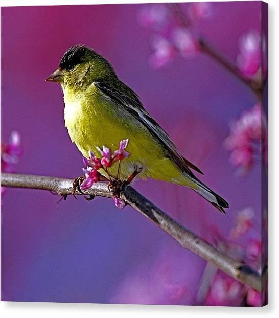Songbirds Canvas Print - #lessergoldfinch #nofilter #birds by Raul Roa