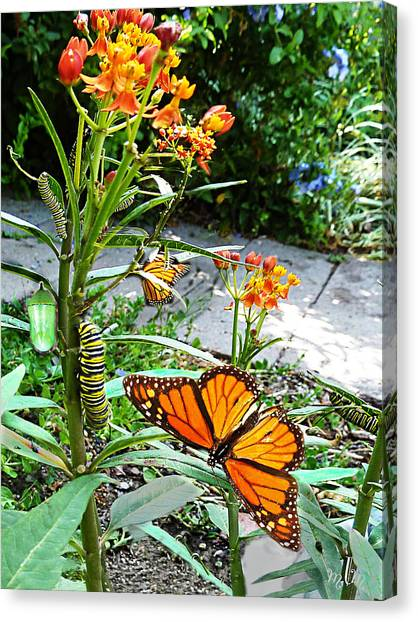 Life Cycle Of Monarch Canvas Print