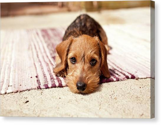 Dogs Canvas Print - Light Brown Dachshund Puppy by Håkan Dahlström