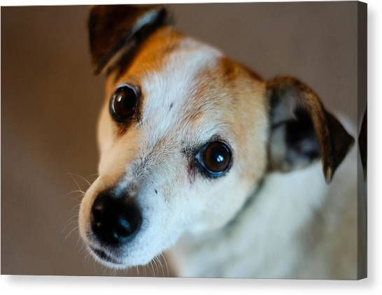Lilly - The Jack Russell Canvas Print by Callum Mcleod