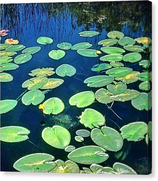 Marshes Canvas Print - Lily Pads #lakeontario #ontario #canada by Shelley Walsh