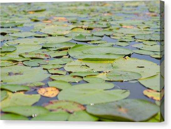Lily Pads On The Water Canvas Print by Margaret Pitcher