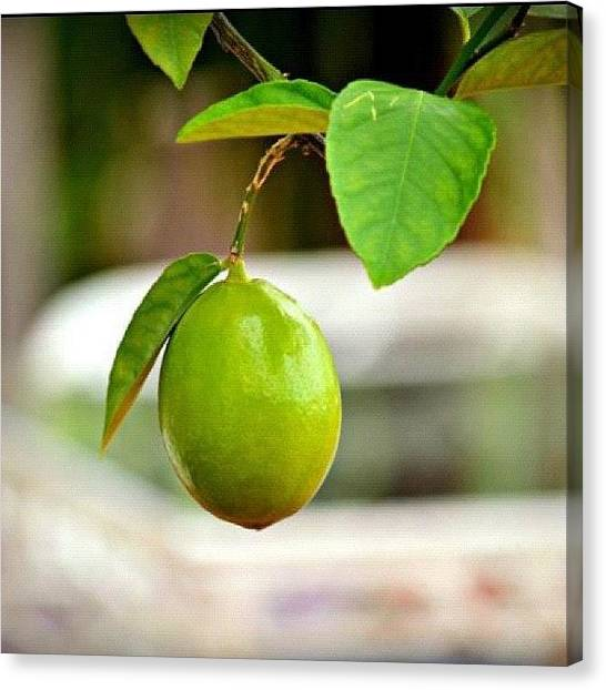 Limes Canvas Print - #lime #green #fruit #tree #bush #summer by Sabrina Raber