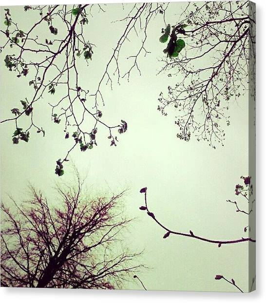 Limes Canvas Print - #limetree #sky ... #trees #branches by Alexandra Cook
