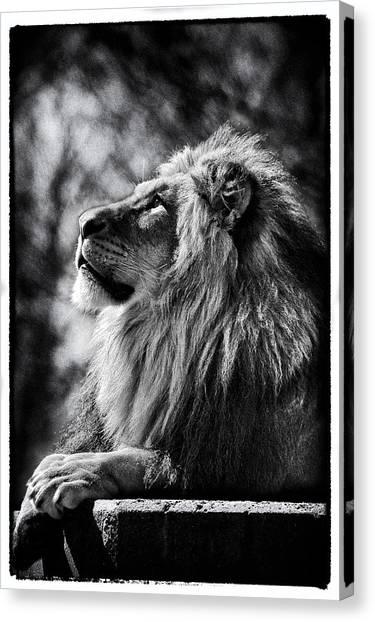 Lion Meditating Canvas Print