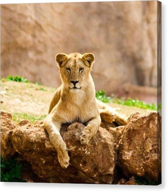 Lions Canvas Print - #lion #morocco #rabat #atlas #2012 #red by Omar Chawki