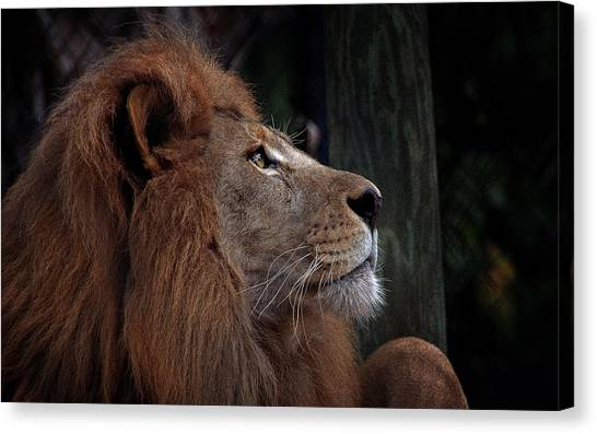 Lion Profile Canvas Print