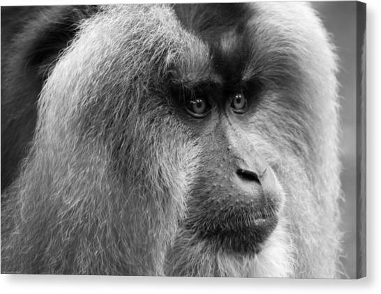 Lion-tailed Macaque Canvas Print