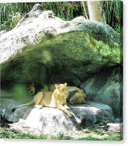 Lions Canvas Print - Lioness In Her Den by Jessica Daubenmire