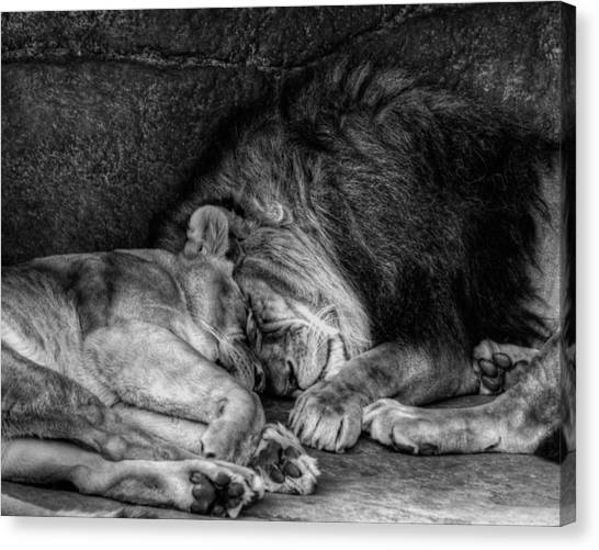 Lions Sleep Tonight Canvas Print
