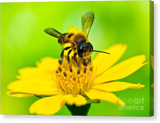 Little Bee In Yellow Flower Canvas Print by Peerasith Chaisanit