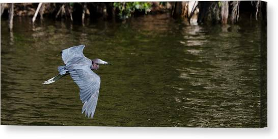 Little Blue Heron In Flight Canvas Print by Mike Rivera