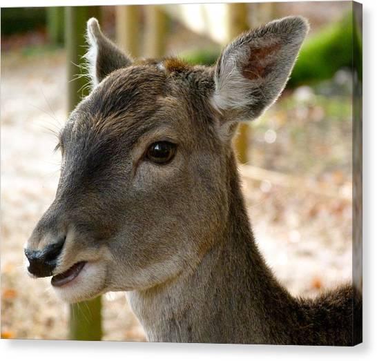 Little Deer Canvas Print by Karen Grist