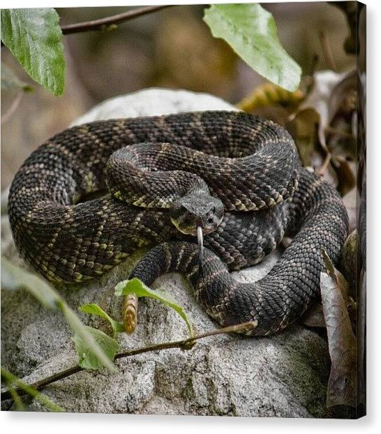 Rattlesnakes Canvas Print - Little Guy Saying Hello On A Hike One by Michael Amos
