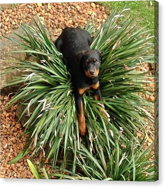 Rottweilers Canvas Print - Little Hera Having Fun!!! #petsagram by Adriana Guimaraes