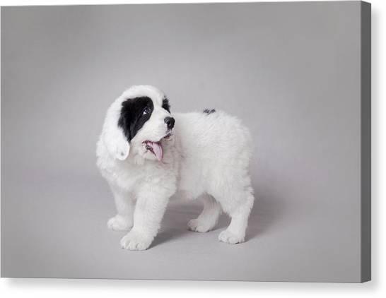 Little Landseer Puppy Portrait Canvas Print by Waldek Dabrowski