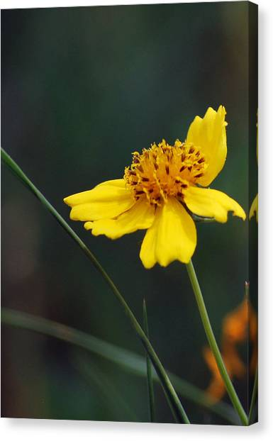Little Yellow Canvas Print
