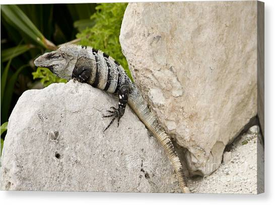 Iguanas Canvas Print - Lizard by Blink Images