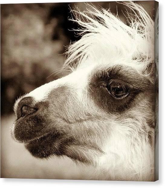 Llamas Canvas Print - #llama Woodlands Adventure #park #devon by Andrew Staffer