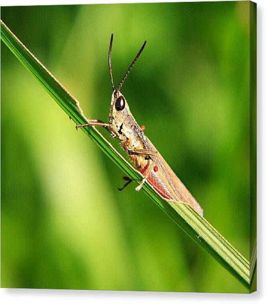 Grasshoppers Canvas Print - lol, Wut? by Andhika Satya