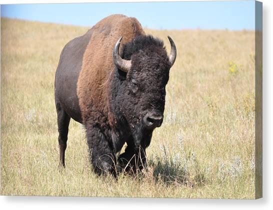 Lone Bull Buffalo Canvas Print