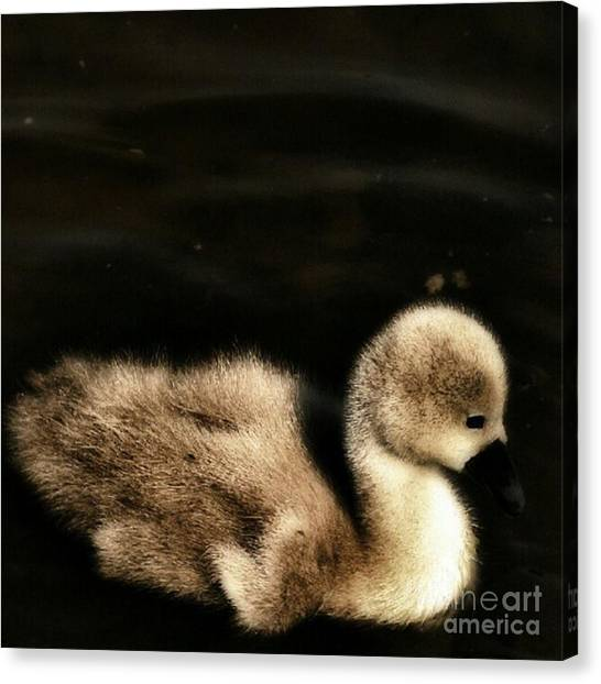 Birds Canvas Print - Lone Cygnet by Abbie Shores